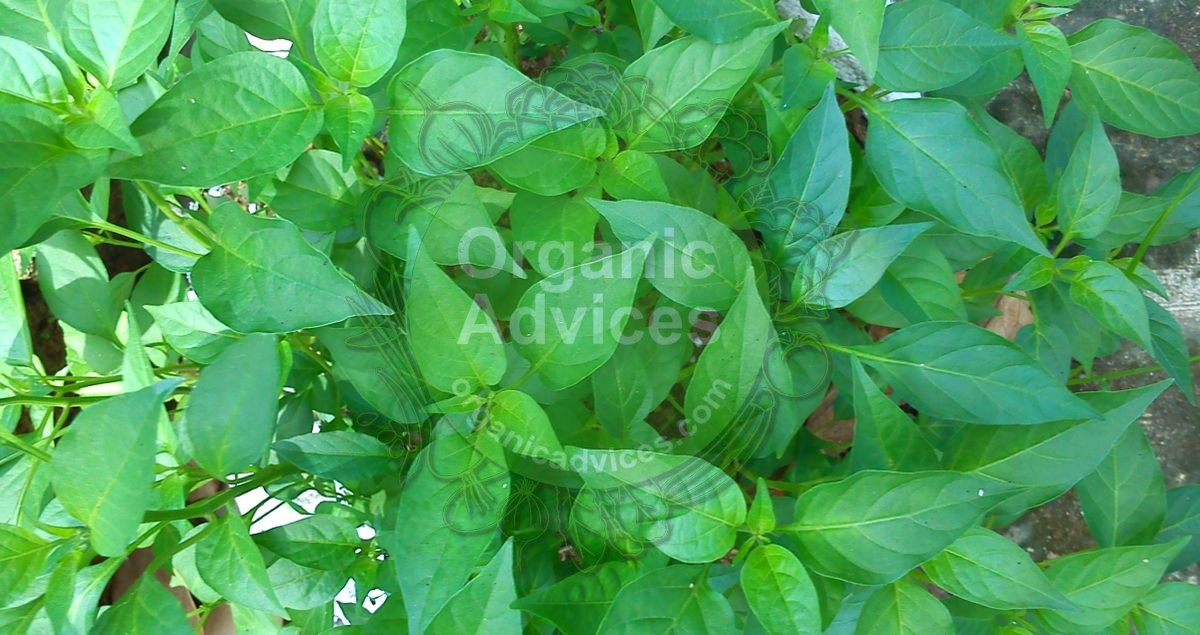Leaf curl decease in vegetables - how can we control it using organic methods
