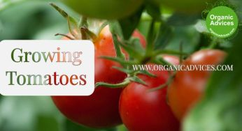 Growing Tomatoes in Containers/Home Terrace Garden Using Zero Pesticides
