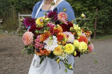 Armfuls of Dahlias! Organic Blooms