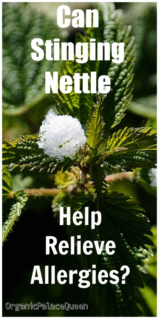 stinging nettle for allergies