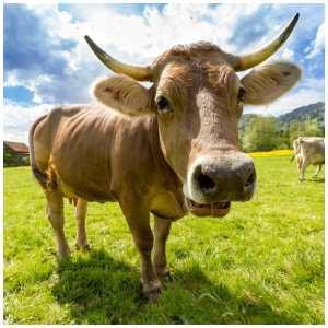 organic vs antibiotic free meat