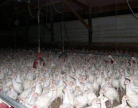 Carne de pollo contiene arsénico
