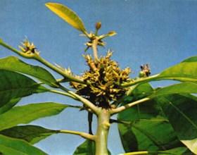 Escoba de Bruja en Mango