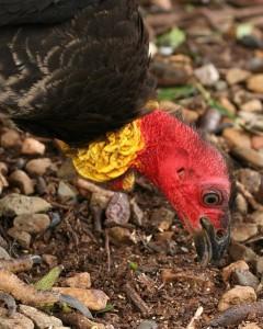 The Distinct Australian Brush Turkey