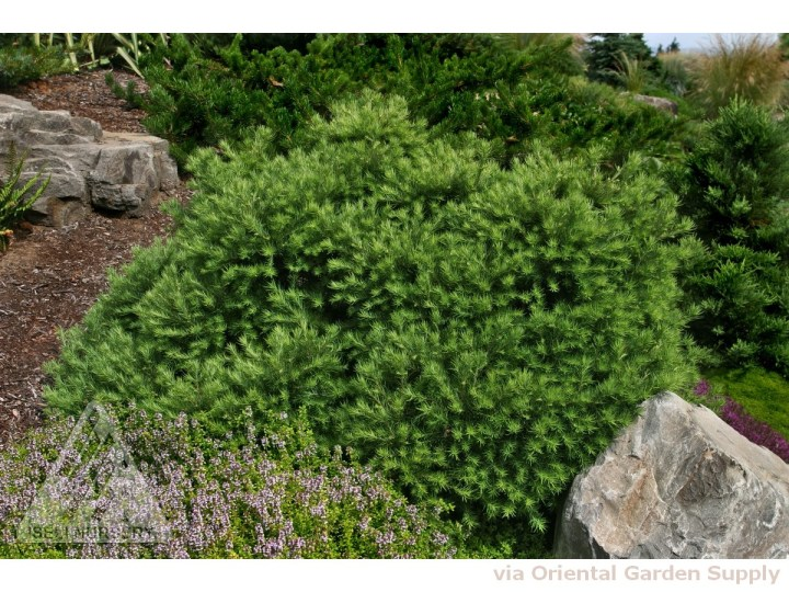 larix gmeli 'romberg park' - oriental garden supply llc