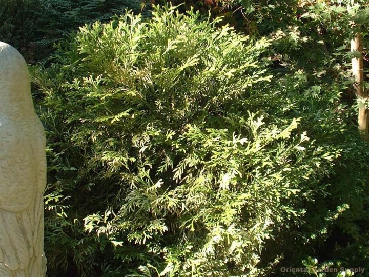 thujopsis dolobrata 'variegata' - oriental garden supply llc