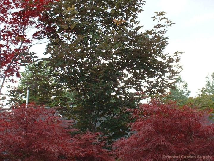 acer griseum x pseudoplatanus - oriental garden supply llc