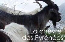 stae chèvre des Pyrénées