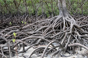 stage mangroves