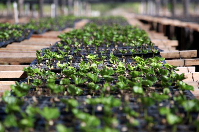 Brazil Ecoagricola coffee nursery