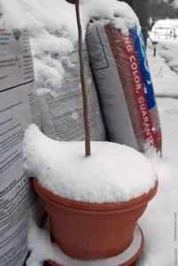 Pecan tree in pot