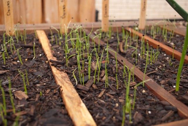 Herd of Onion seedlings