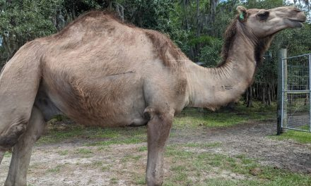 Camels, Cows and Emus, Oh My! – A Review of Wild Florida Drive-Thru Safari