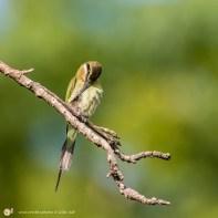 Guêpier de Madagascar - © Gilles Adt
