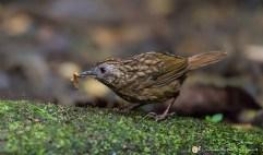 Turdinule à queue courte - © Gilles Adt