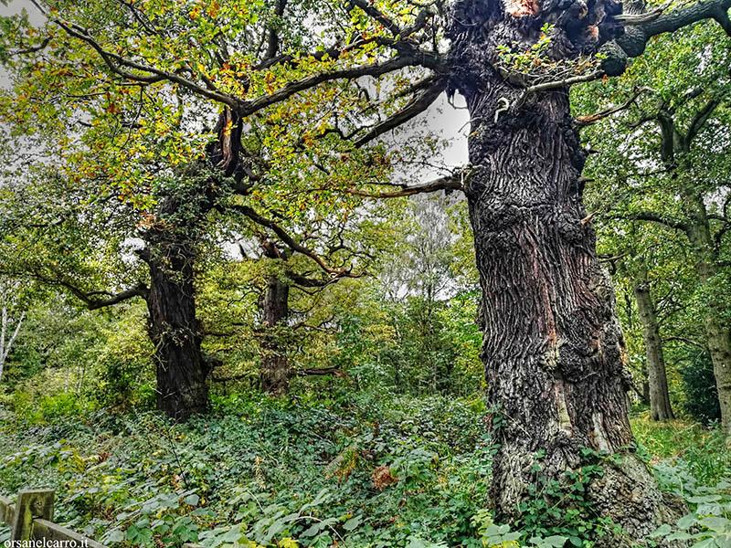 Quercia Foresta di Sherwood