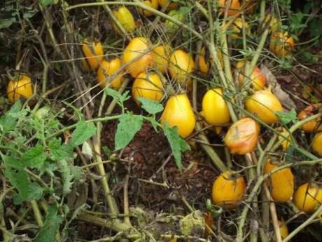 pomodori-senz-acqua-pascal-poot