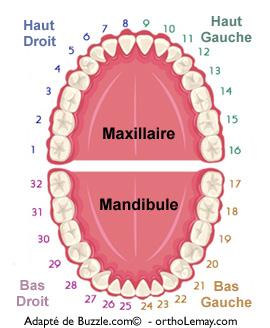 Système de numérotation dentaire universel. Orthodontie et dentisterie