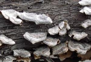 wood rot (from apsnet.org)