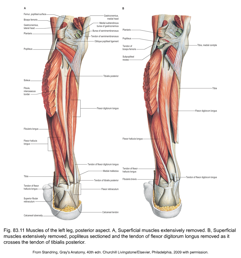 Structure Of The Posterior Leg Muscle
