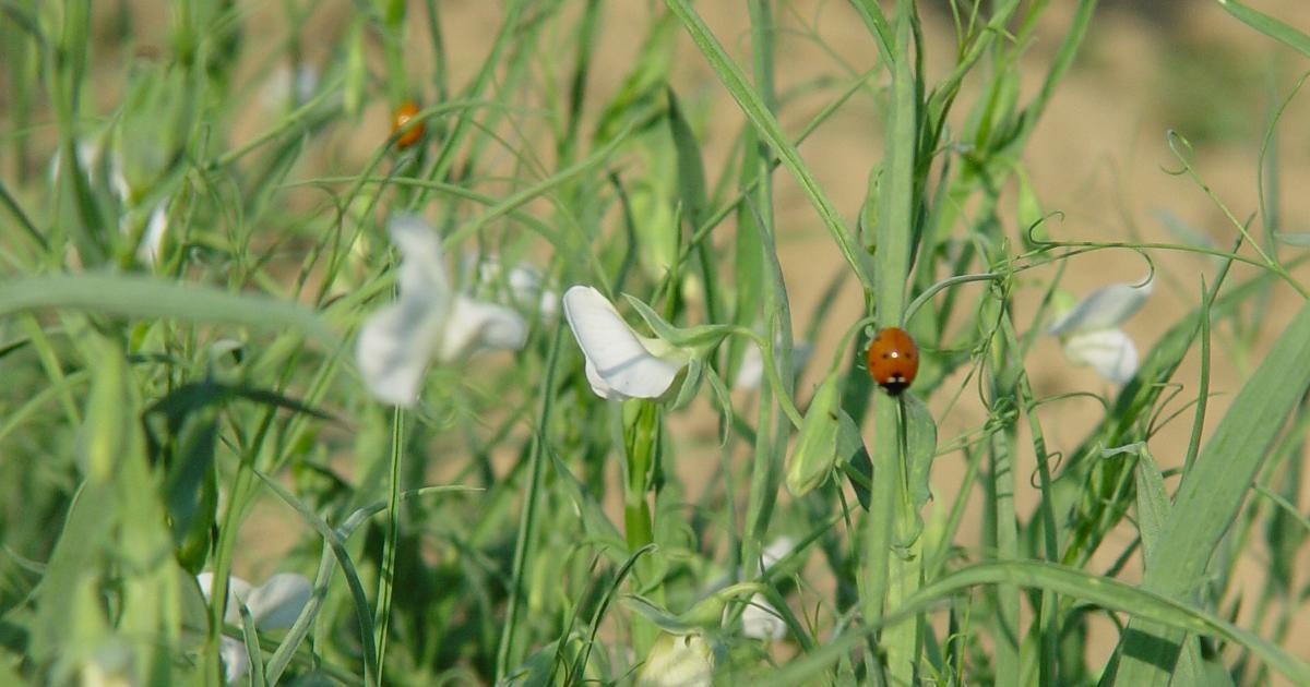 coccinella su cicerchia in fiore