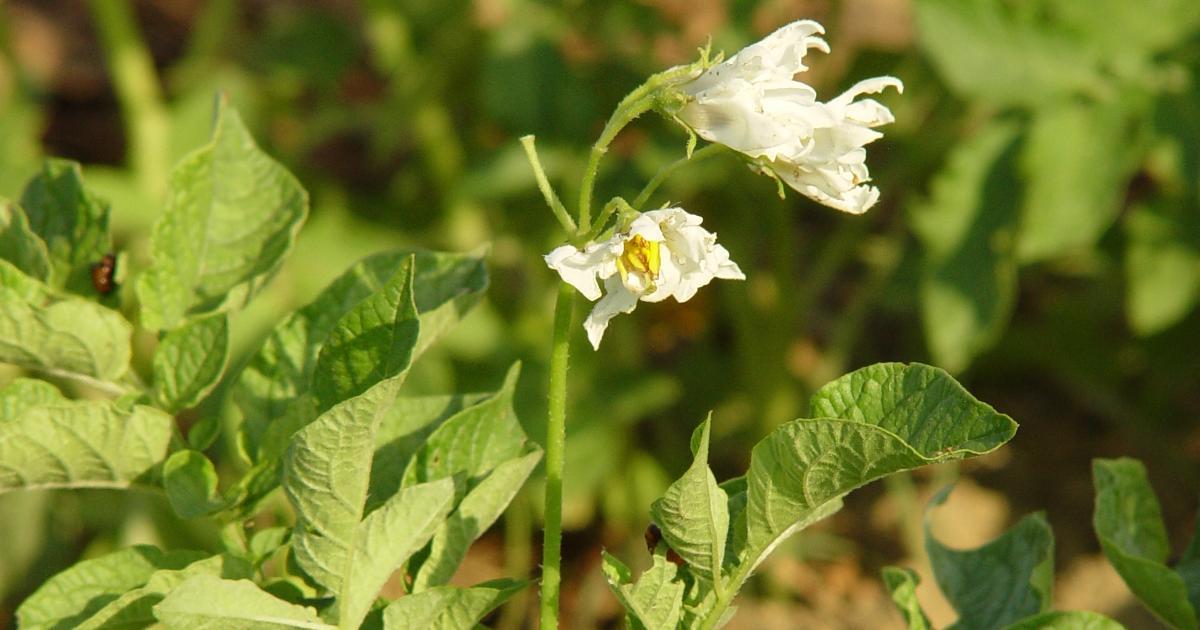 patata in fiore nell'azienda garicola biodinamica ortobene