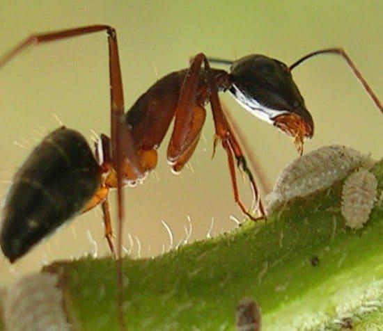 Formiche Nellorto Biologico Come Allontanarle