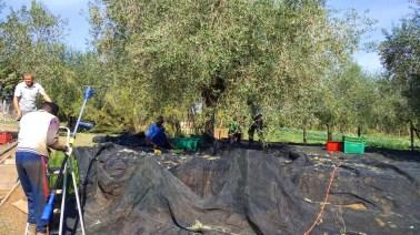 Orto di Roma raccolta olive 2017