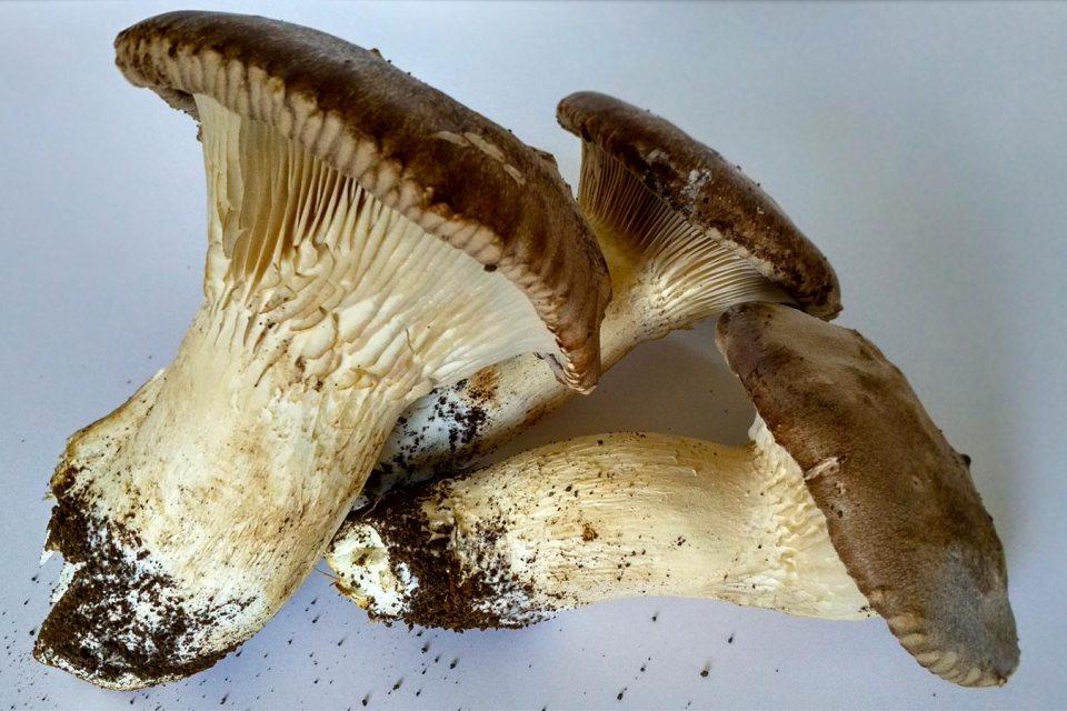Funghi Orto di Roma