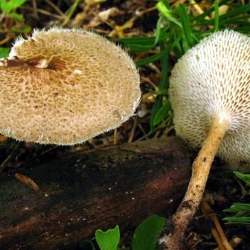 Lentinus arcularius (Batsch) Zmitr. CARATTERI IDENTIFICATIVI: il cappello, di forma circolare, può raggiungere al massimo 6-7 cm, inizialmente è convesso poi piano con leggera depressione al centro. La superficie è ispida, villosa, finemente squamulosa, tende a diventare glabra e rugoso-screpolata negli esemplari maturi; il colore può variare dall'ocra, al nocciola o bruno giallastro, più scuro verso al centro. Il margine del cappello è involuto e presenta dei piccoli peli triangolari. I tubuli sono di colore inizialmente bianco crema poi ocracei, con pori larghi, allungati, di forma poligonale, concolori ai tubuli. Il gambo, più o meno centrale, è fibroso, coriaceo, finemente decorato da una punteggiatura ocra scuro, meno che alla base dove è liscio e di colore giallo-ocraceo. La carne è esigua, elastica, tenace, di color crema-biancastro, senza particolare odore e di sapore dolcidulo. CONFRONTO CON ALTRE SPECIE: entità simili sono: Lentinus brumalis (Pers.) Zmitr., che ha la superficie superiore liscia o con ciuffi di peli sparsi, pori allineati radialmente; Lentinus substrictus (Bolton) Zmitr. & Kovalenko che presenta la superficie leggermente squamosa e finemente reticolata e margine finemente ciliato; Cerioporus meridionalis (A.David) Zmitr. & Kovalenko con superficie del cappello bruno-fuligginosa e stipite bruno-grigiastro tomentoso e fioccoso alla base, tipico di ambiente mediterraneo. DOVE E QUANDO CRESCE: si sviluppa su legno morto di latifoglie, soprattutto di quercia e castagno.
