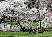 セントラルパークの桜(2015年)