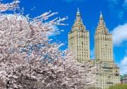 今春は開花が早め!セントラルパークに咲く満開の桜