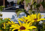 ハイラインに咲く花
