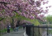 ジャクリーンケネディーオナシス貯水池の桜並木
