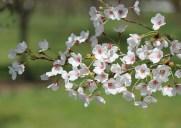 春はニューアークの「ブランチ・ブルック・パーク」でお花見