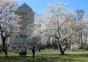 サクラパークに咲く桜