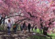 セントラルパークの八重桜トンネル