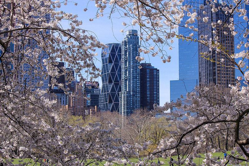 セントラルパークで桜満開