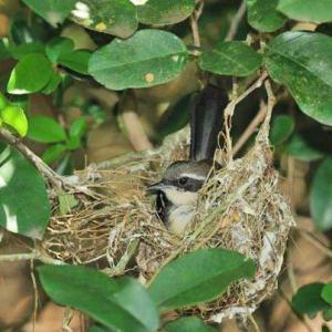 O pássaro Formigueiro-do-litoral é uma das espécies em extinção que habita a área a ser preservada, que também será fundamental na preservação das fontes naturais de água. (Foto: Divulgação)