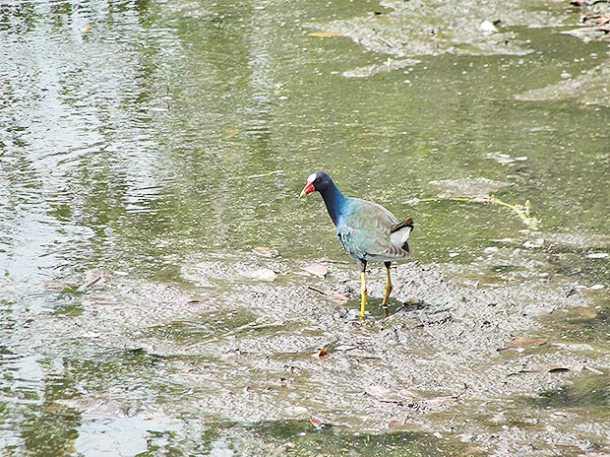 A lagoinha e as aves na entrada de Itaúna sofrem com o descarte de resíduos sólidos in natura (Foto: Paulo Lulo)
