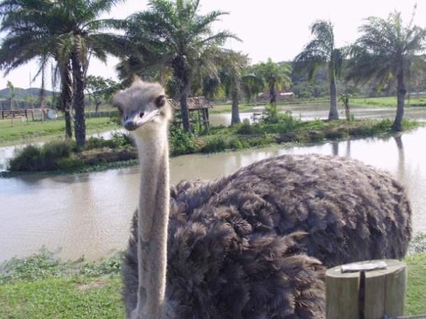 O avestruz em harmonia com o ambiente do Rancho Safari (Foto: Guilherme Stocchero)