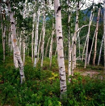 White Birch Tree Seeds Deciduous 6780 Osc Seeds