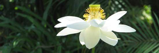 lotus by Bhagawati