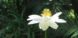 Delta Lotus