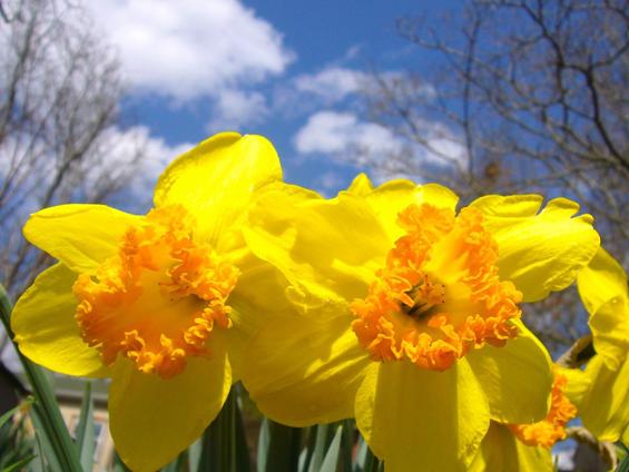 Sadhvi's Daffodils