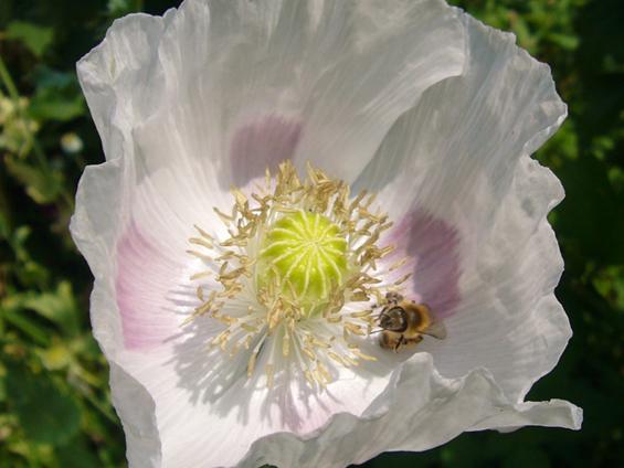 Sadhvi's White Poppy