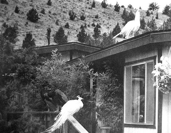 Peacocks at the Ranch