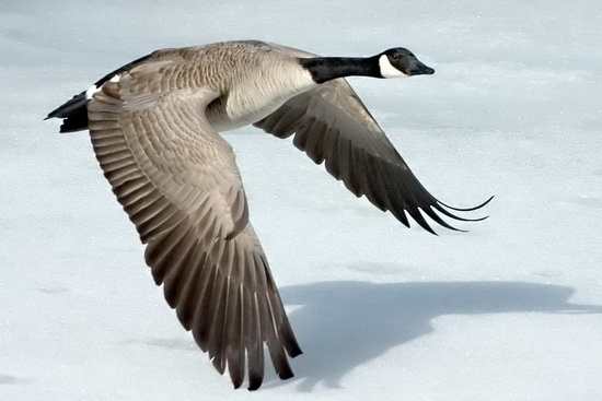 Goose is out