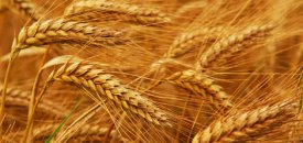 Grains… Much Harder to Digest than You Think