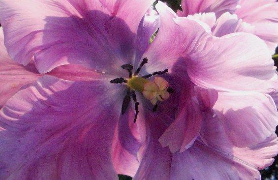035 purple flower Buckfast cropped